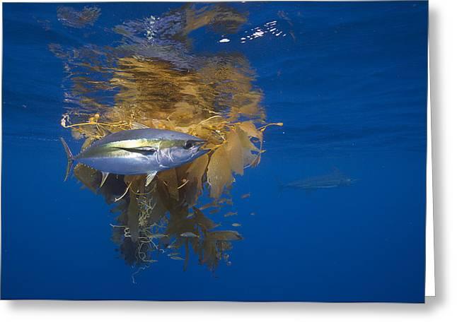 Yellowfin Tuna And Kelp Nine-mile Bank Greeting Card by Richard Herrmann