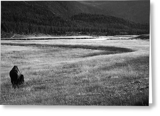Yellowstone Bison Wyoming Greeting Card by Aidan Moran