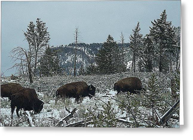 Grazing Snow Digital Greeting Cards - Yellowstone Buffalo Grazing Snowing Greeting Card by Silver Wolf Trading Post