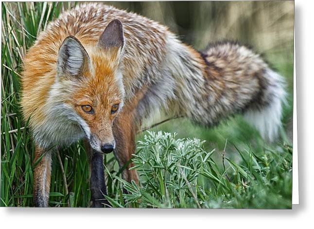 Courson Greeting Cards - Yellowstone Fox Greeting Card by CR  Courson