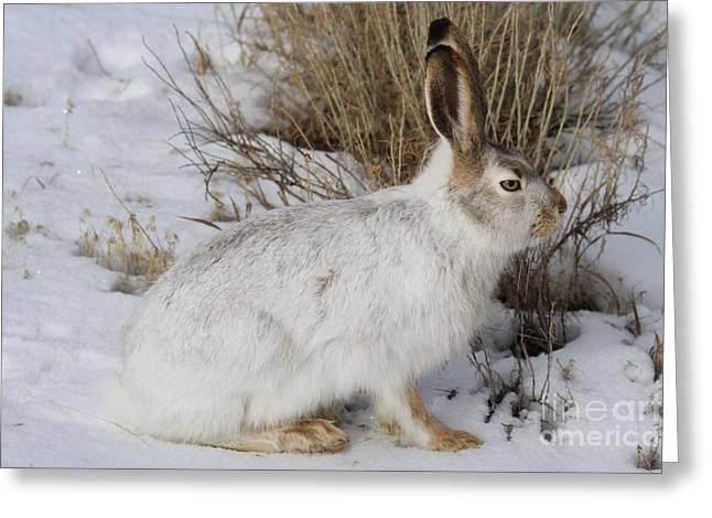 Jack Rabbit Greeting Cards - Yellowstone Jack Rabbit Greeting Card by Adam Jewell