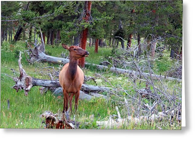 Ausra Greeting Cards - Yellowstone Moments. Doe Greeting Card by Ausra Paulauskaite