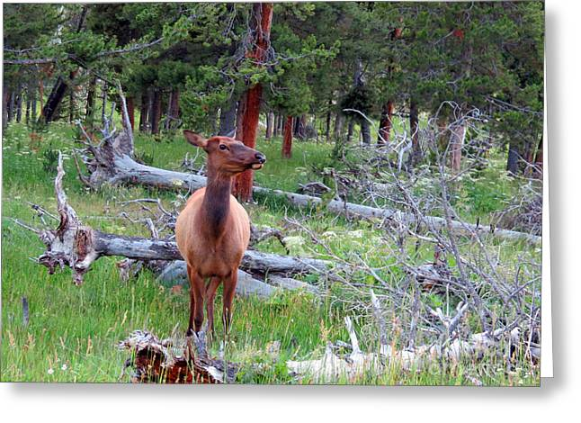 Ausra Paulauskaite Greeting Cards - Yellowstone Moments. Doe Greeting Card by Ausra Paulauskaite