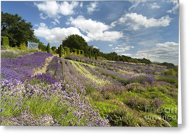 Vale Greeting Cards - Yorkshire Lavender Greeting Card by John Potter