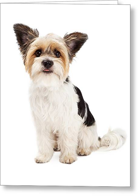 Shih-tzu Greeting Cards - Yorkshire Terrier and ShihTzu Crossbreed Sitting Greeting Card by Susan  Schmitz