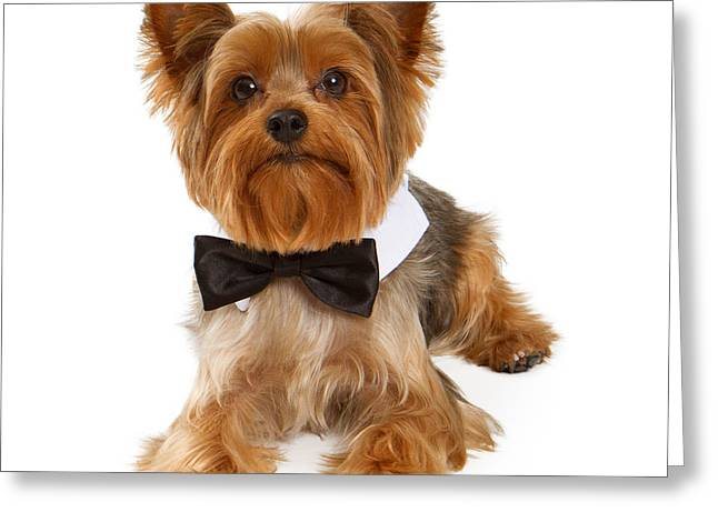 Black Tie Photographs Greeting Cards - Yorkshire Terrier Dog With Black Tie Greeting Card by Susan  Schmitz