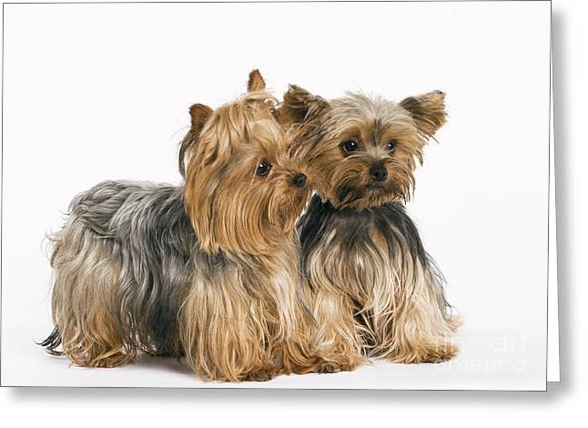 Toy Dog Greeting Cards - Yorkshire Terrier Dogs Greeting Card by Jean-Michel Labat