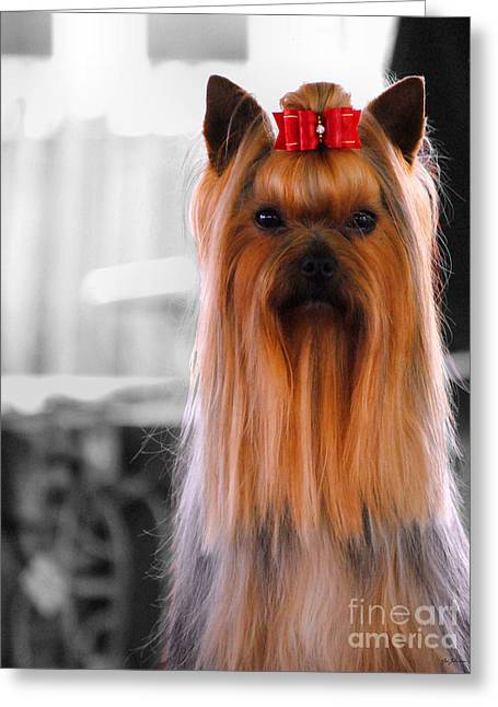 Toy Dogs Greeting Cards - Yorkshire Terrier Greeting Card by Jai Johnson