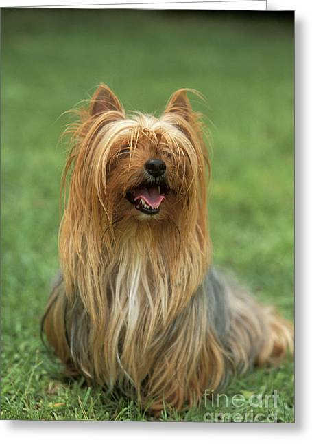 Talking Dog Greeting Cards - Yorkshire Terrier Greeting Card by M. Watson