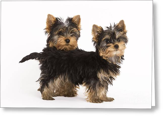 Toy Dog Greeting Cards - Yorkshire Terrier Puppies Greeting Card by Jean-Michel Labat