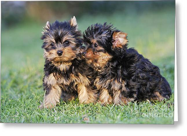 Toy Dog Greeting Cards - Yorkshire Terrier Puppies Greeting Card by M. Watson