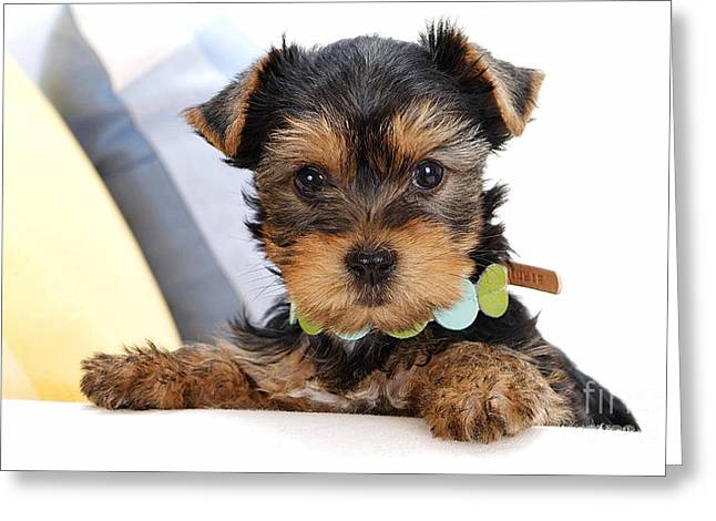 Yorkshire Terrier Puppy Greeting Card by Marvin Blaine
