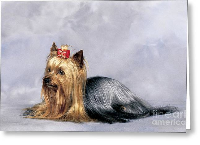 Toy Dog Greeting Cards - Yorkshire Terrier Greeting Card by Tierbild Okapia