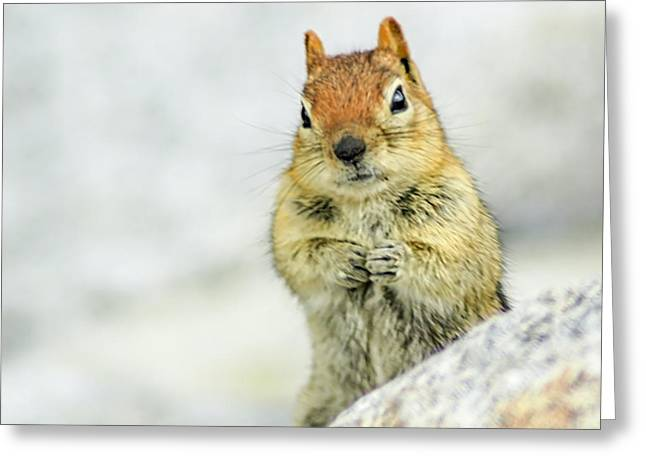 Squirrel Greeting Cards - Yosemite Chipmunk Greeting Card by LeeAnn McLaneGoetz McLaneGoetzStudioLLCcom