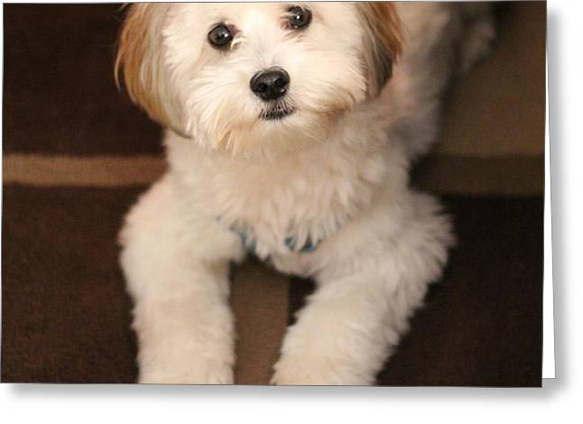 Hypoallergenic Greeting Cards - YOSHI is One Today - Havanese Puppy Greeting Card by Barbara Griffin