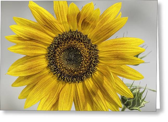 Sunflower Seeds Greeting Cards - You Are My Sunshine Greeting Card by Thomas Young