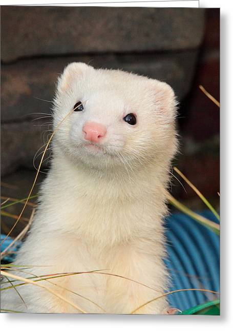 White Ferret Greeting Cards - You Called? Greeting Card by Nigel Espley