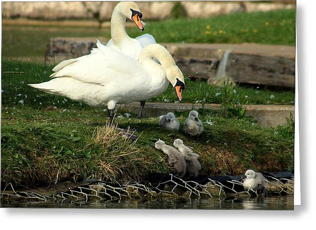Swans... Greeting Cards - You Can Do It Greeting Card by Linsey Williams