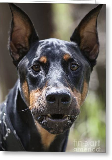 Doberman Pinscher Greeting Cards - You Have About 15 Seconds Greeting Card by Douglas Barnard