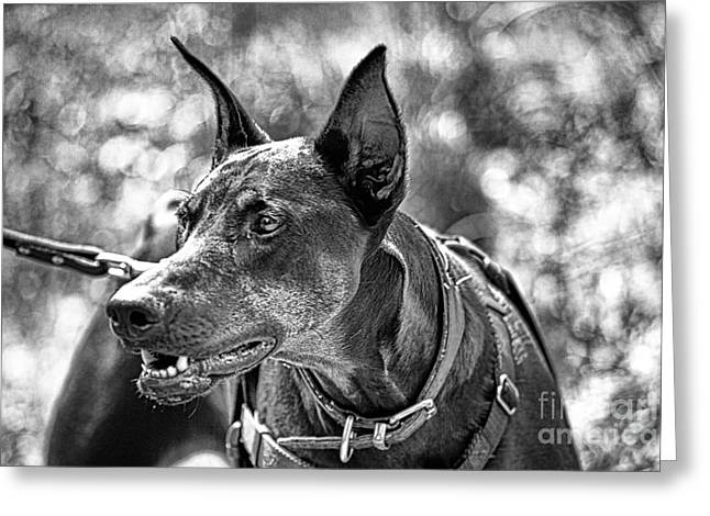 Doberman Pinscher Greeting Cards - You Have About 15 Seconds V4 Greeting Card by Douglas Barnard
