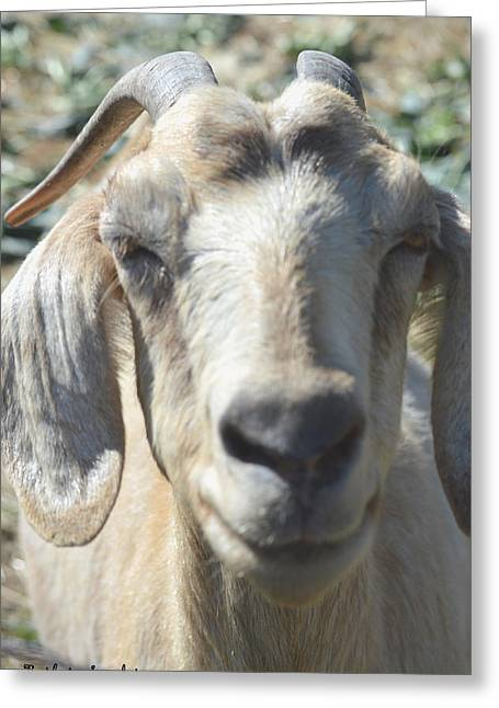 Goat Digital Greeting Cards - You Old Goat Greeting Card by Barbara Snyder