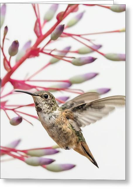 Young Allen's Hummingbird Greeting Card by Mike Herdering