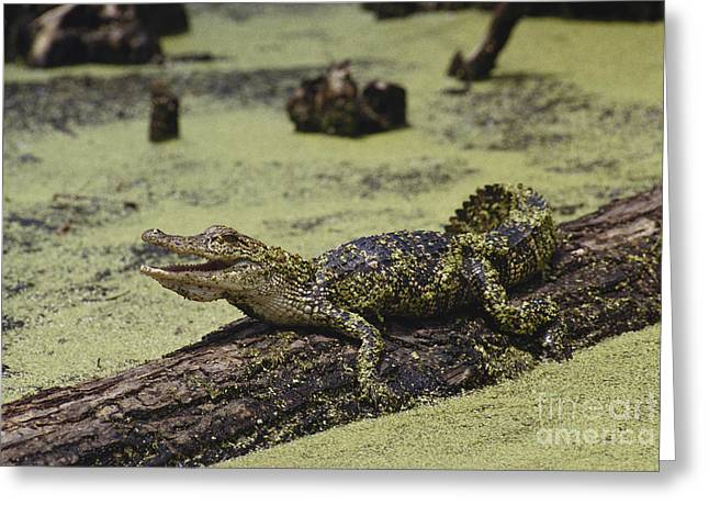 Alligator Greeting Cards - Young Alligator Greeting Card by Gregory G. Dimijian, M.D.