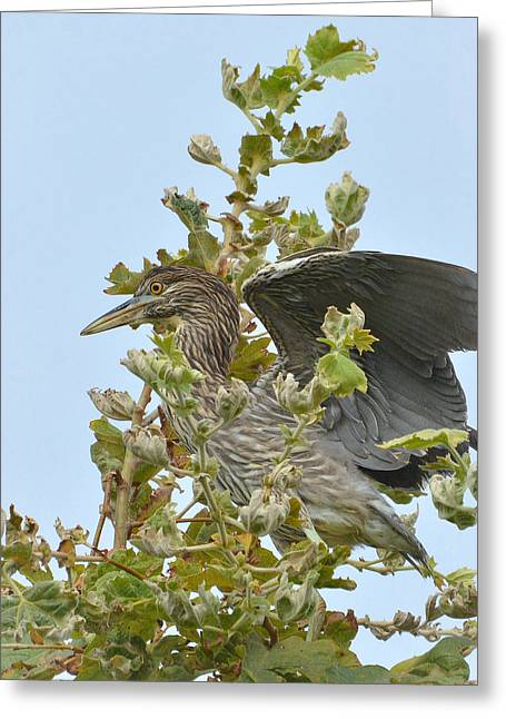 Crowned Heron Greeting Cards - Young Ambition Greeting Card by Fraida Gutovich