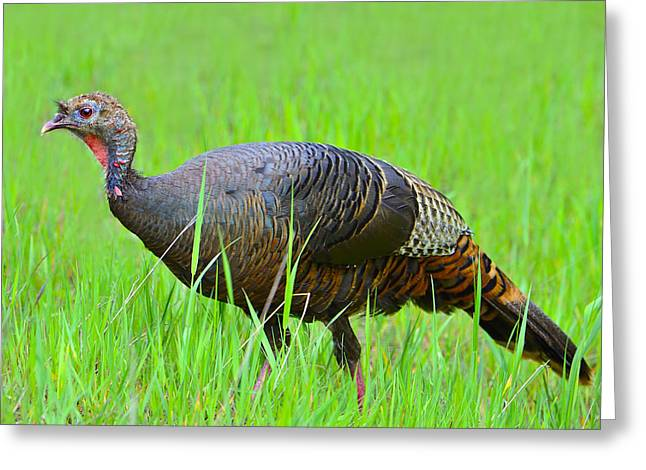 Juvenile Turkey Greeting Cards - Young and Wild Greeting Card by Tony Beck