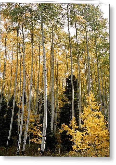 Young Aspens Greeting Card by Eric Glaser