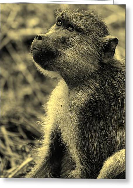 Hierarchical Greeting Cards - Young Baboon In Black And White Greeting Card by Amanda Stadther