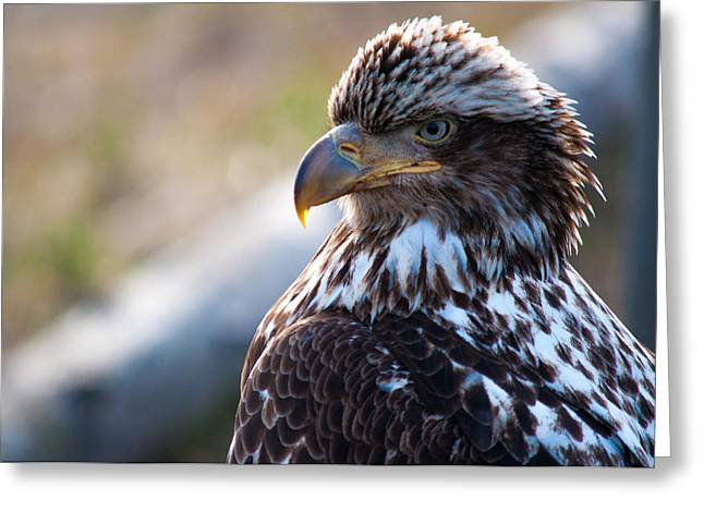Juvenile Art Greeting Cards - Young Bald Eagle Greeting Card by Debra  Miller