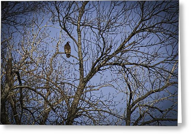 Thomas Young Photography Greeting Cards - Young Bald Eagle Greeting Card by Thomas Young
