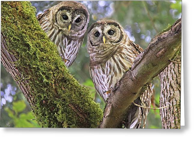 Owlets Greeting Cards - Young Barred Owlets  Greeting Card by Jennie Marie Schell