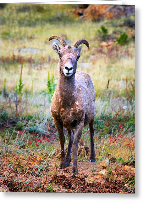 Rocky Mountain National Park Greeting Cards - Young Big Horn Sheep Greeting Card by Juli Ellen