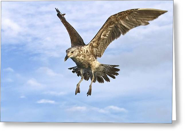 Sea Birds Greeting Cards - Young black-backed gull in flight Greeting Card by Science Photo Library
