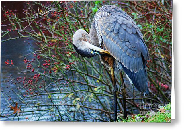 Bird Watcher Greeting Cards - Young Blue Heron Preening Greeting Card by Paul Ward