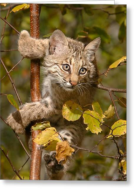 Bobcat Kitten Greeting Cards - Young Bobcat in Tree Greeting Card by Mike Dodak