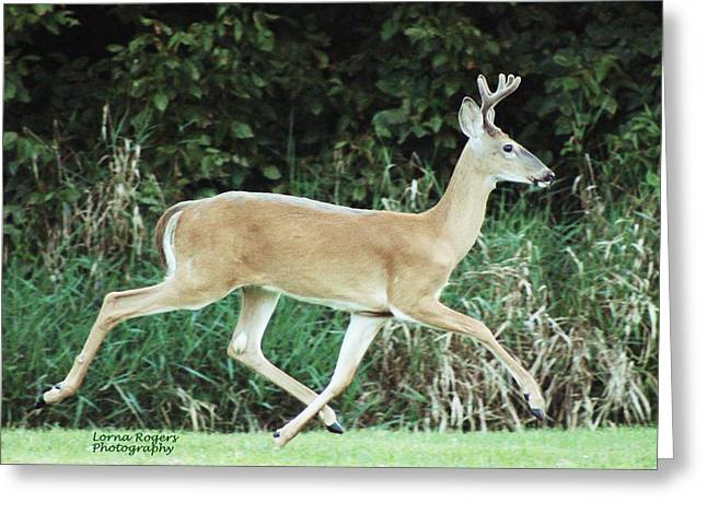 Indiana Photography Digital Greeting Cards - Young Buck Greeting Card by Lorna Rogers Photography