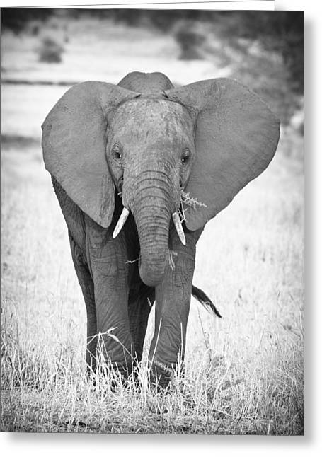Serengeti Animal Greeting Cards - Young Bull Elephant Greeting Card by Adam Romanowicz