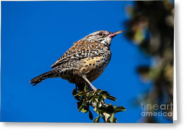 Back Yard Birds Greeting Cards - Young Cactus Wren Greeting Card by Robert Bales