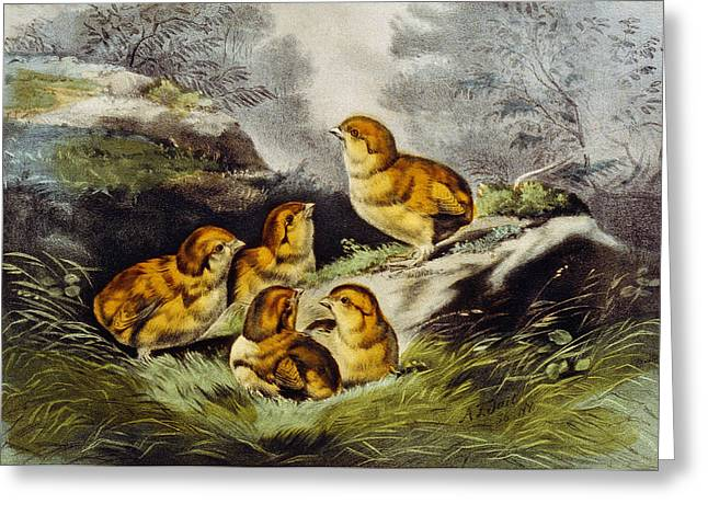 Baby Bird Drawings Greeting Cards - Young chicks circa 1856 Greeting Card by Aged Pixel