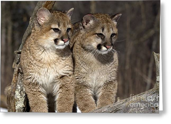 Puma Concolor Greeting Cards - Young Cougars Greeting Card by Linda Freshwaters Arndt