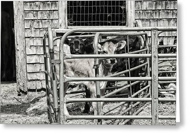 Maine Agriculture Digital Art Greeting Cards - Young cows In Pen Near Barn Maine Photograph Greeting Card by Keith Webber Jr