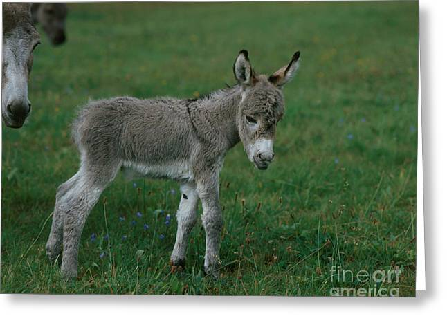 Young Donkey Greeting Card by Hans Reinhard