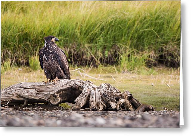Winged Greeting Cards - Young Eagle on a River Bed Greeting Card by Andres Leon