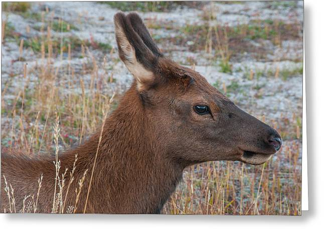 Young Elk Calf Greeting Card by Brenda Jacobs