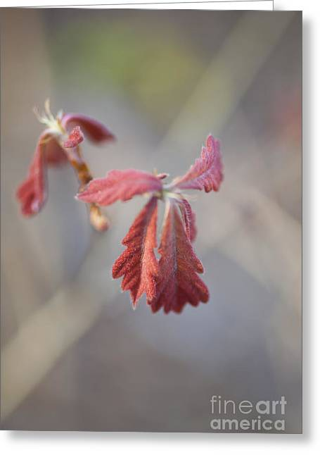 Emergence Greeting Cards - Young Emerging Oak Leaves Greeting Card by Jonathan Welch