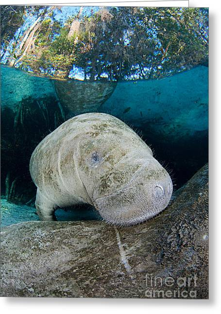 Manatee Springs Greeting Cards - Young Florida Manatee Greeting Card by David Fleetham