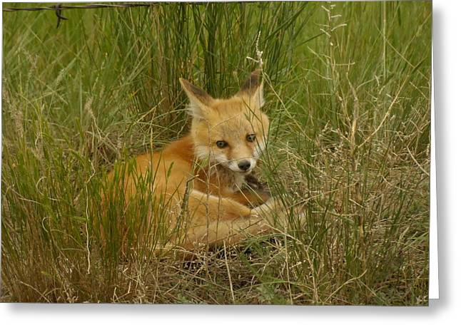 Living Things Greeting Cards - Young fox under the fence Greeting Card by Jeff  Swan